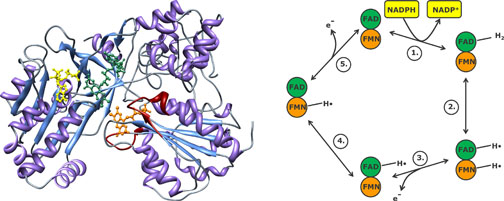 NADPH P450 Reductase structure (R. norvegicus) and reaction mechanism courtesy of Kenneth Jensen